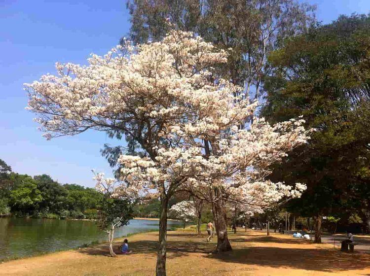 Ipê-branco florido Parque Ibira - antoniomg | ello