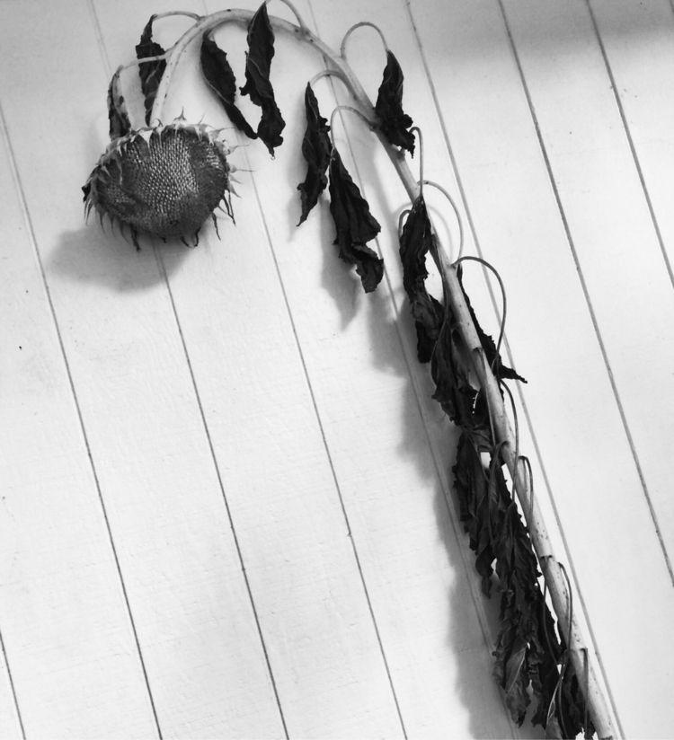 Sunflower - stilllife, blackandwhite - drewsview74 | ello