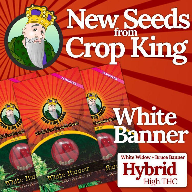 WHITE BANNER seeds wait Strain - cropkingseeds | ello