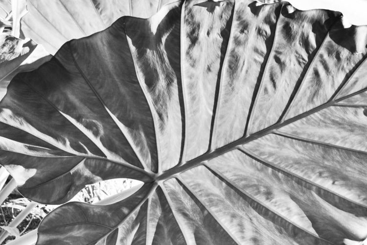 Elephant Ear BW - blackandwhite - drewsview74 | ello