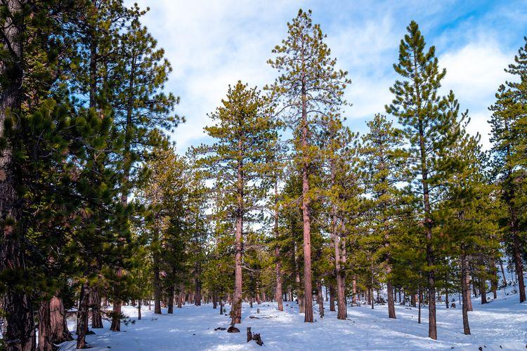 Snowbound Trees Snowy trees foo - mattgharvey | ello