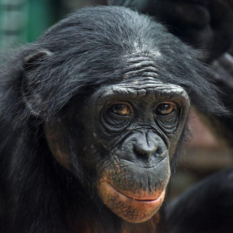 Portrait bonobo - photography, animal - chetkresiak | ello