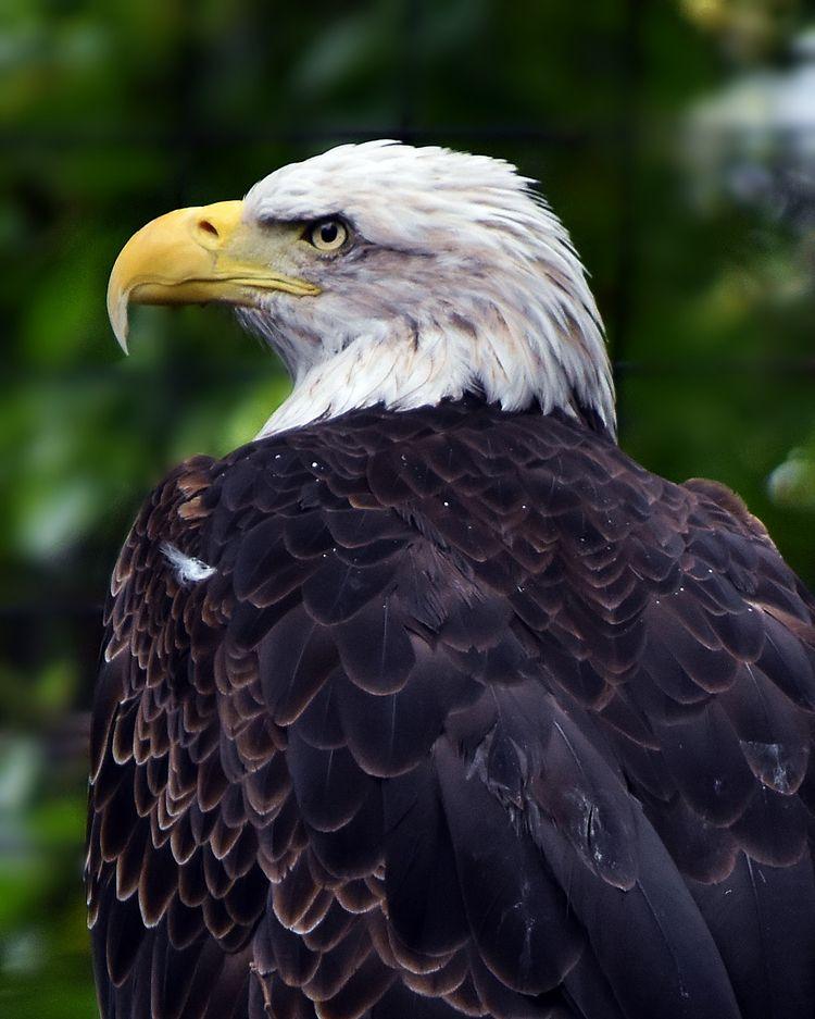 Bald eagle - bird, birds, photography - chetkresiak   ello