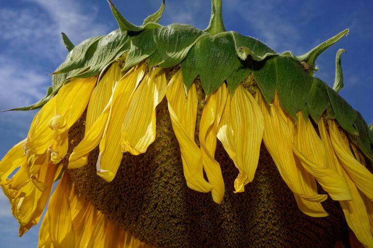 Zond Lick - photography, sunflower - marcushammerschmitt | ello