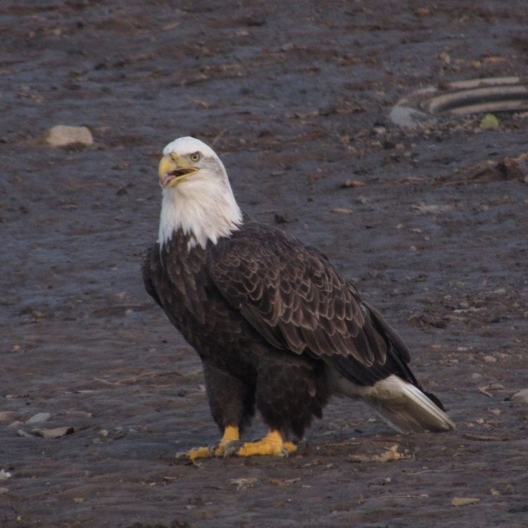 Bald eagle - baldeagle, wildlife - caitlennshots | ello