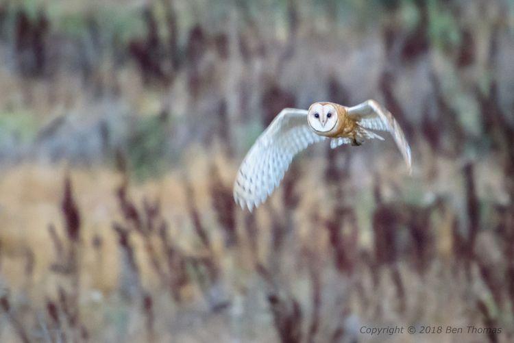 Barn Owl Pt Reyes Wild ; ISO hi - bjt3 | ello