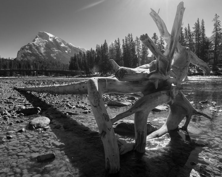 Bow tree bones River bed. Banff - rhinocerous | ello