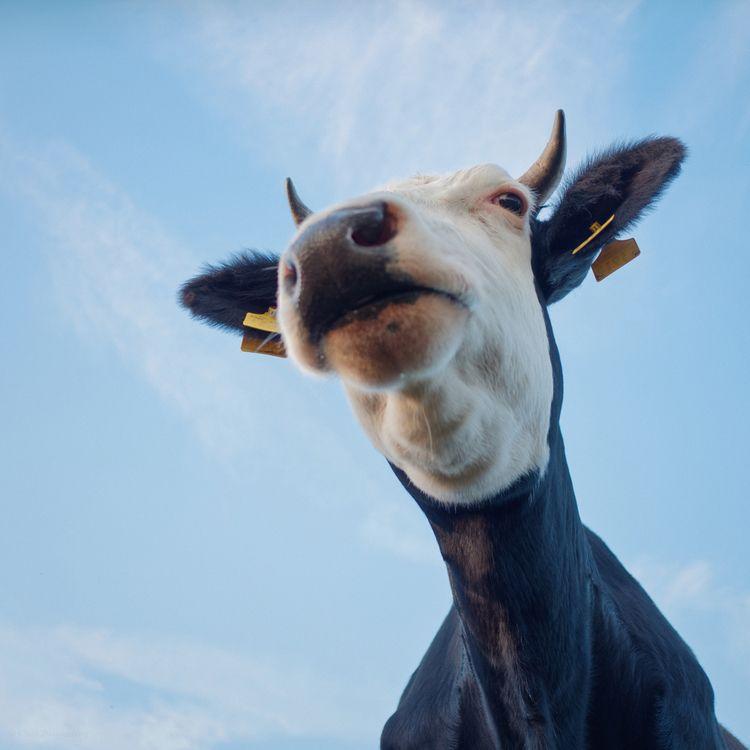 suicide cow. wet - animals, color - klaasphoto | ello