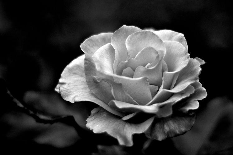 Botanical Monochrome 5412 - flowerphotography - dorian-stretton | ello