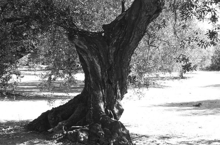 Olive Tree 3/3 La - Senia,, Spain - ivop | ello