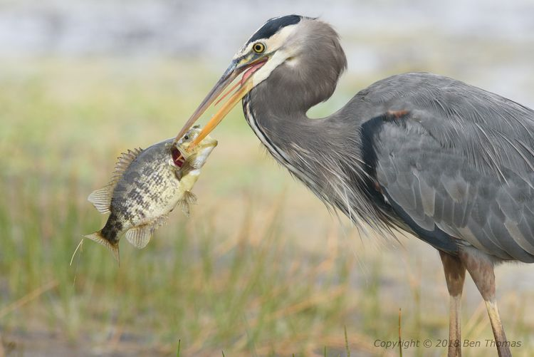 Great Blue Heron Pt Reyes NS Wi - bjt3 | ello