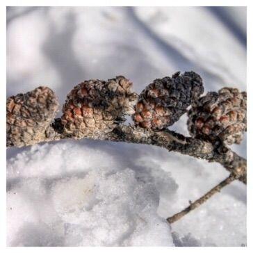 pine cones barometer. Pine fore - etbtravelphotography | ello
