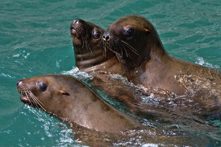 Youngsters - Steller sea lions  - lwpetersen | ello