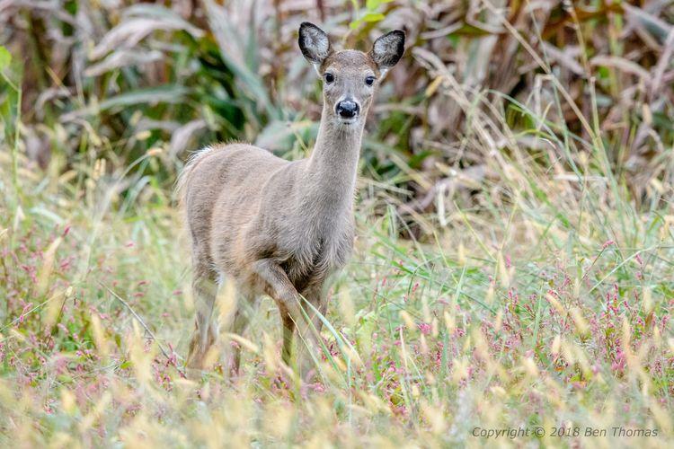 Deer Blackwater NWR Wild ; larg - bjt3 | ello