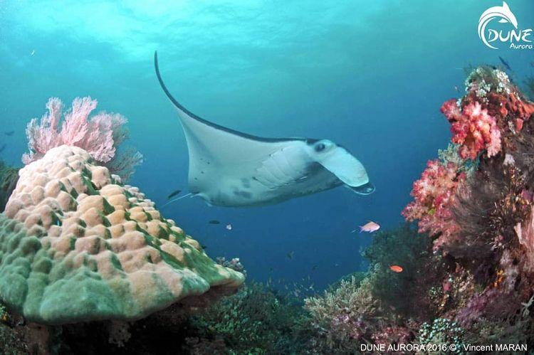 Bali Manta Ray est très populai - atlantisbalidiving | ello