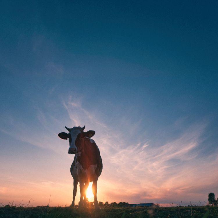 Cownected - animals, color, cow - klaasphoto   ello