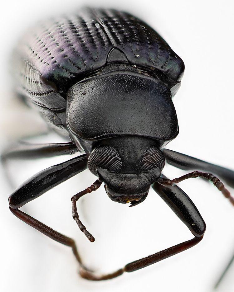 Creepy Crawlies: Black Beetle c - accidentalphotography | ello
