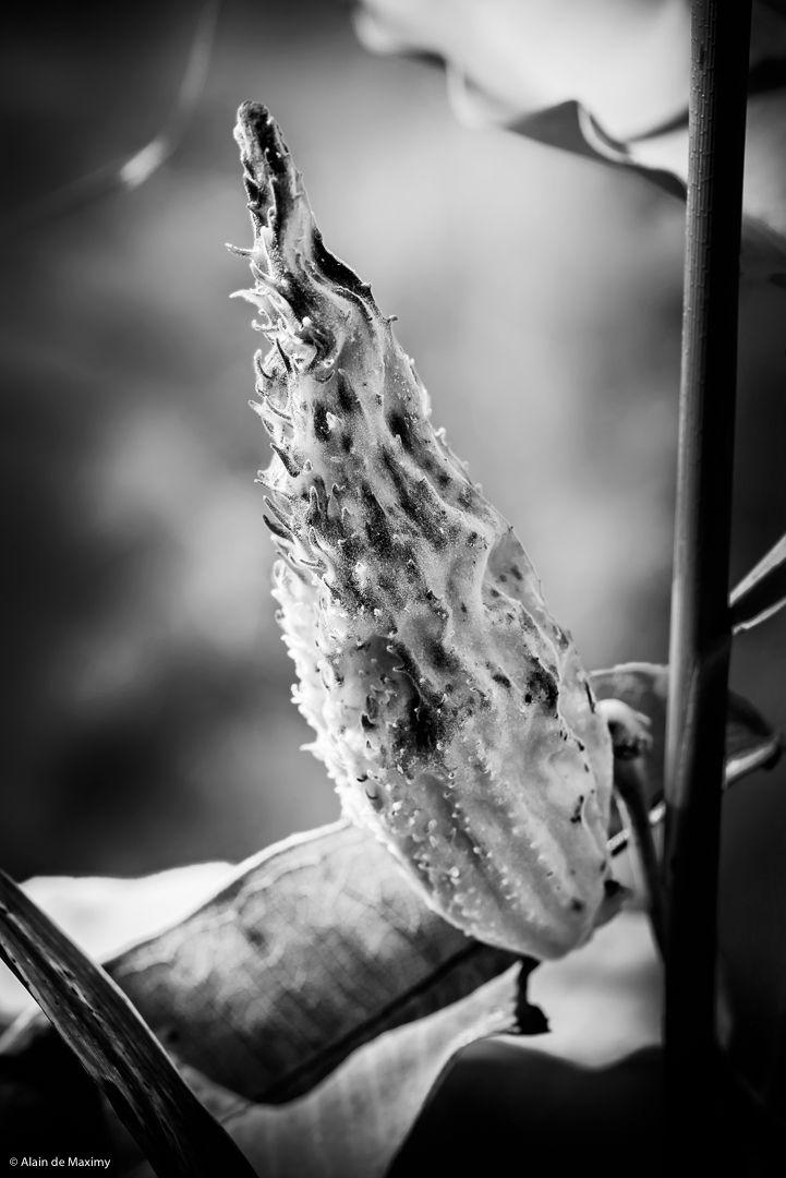 Closeup Asclepias Syriaca fruit - maximy | ello