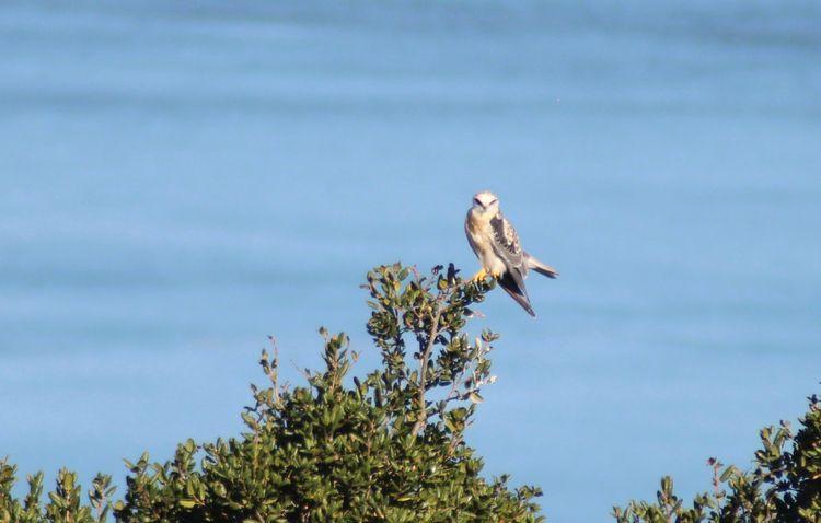 birdofprey, carquinezstrait, birds - phoenikx | ello