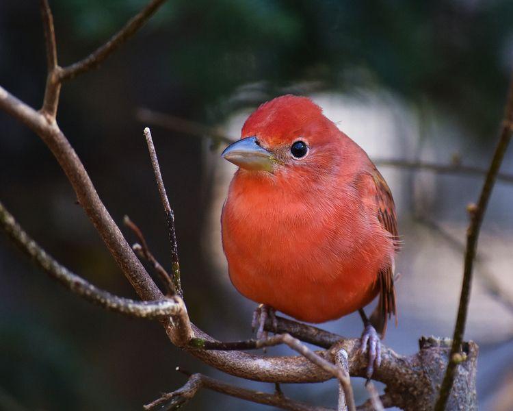 Scarlet tanager bird - birds, nature - chetkresiak | ello