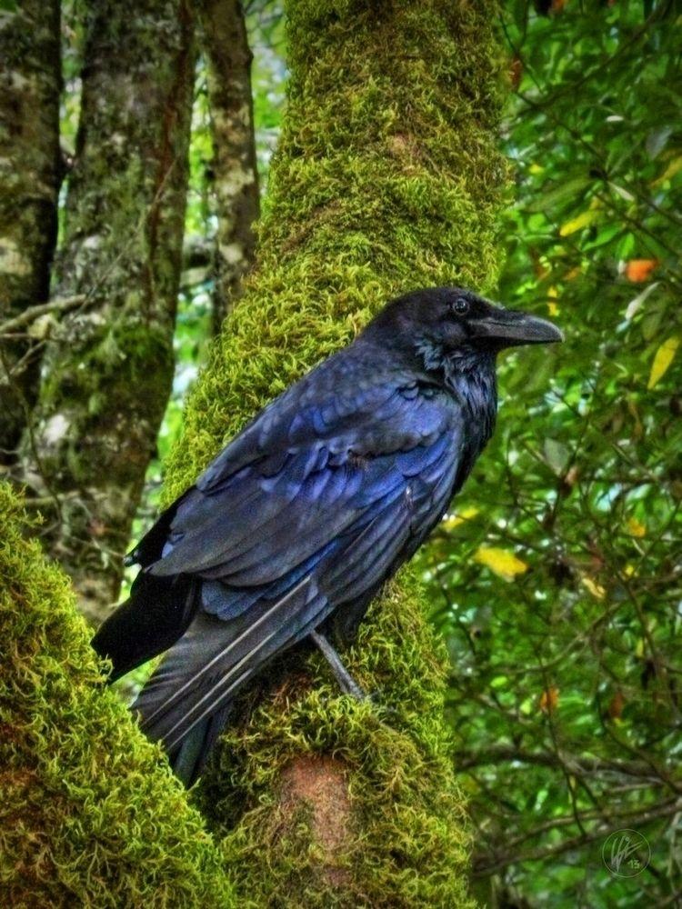 Muir Woods Raven 001 Common Nor - lancevaughn | ello