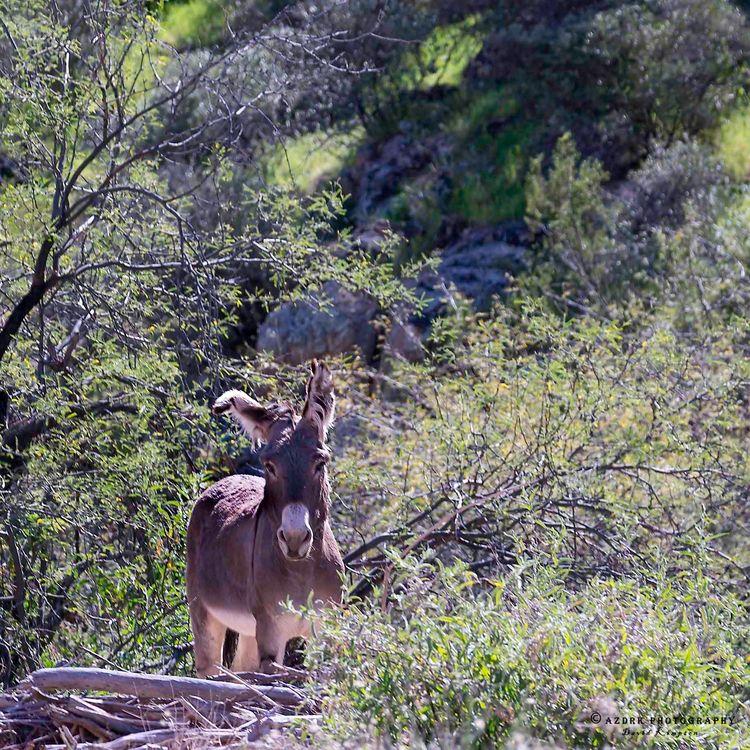 Desert Burro, 2016 give burro n - azdrk | ello