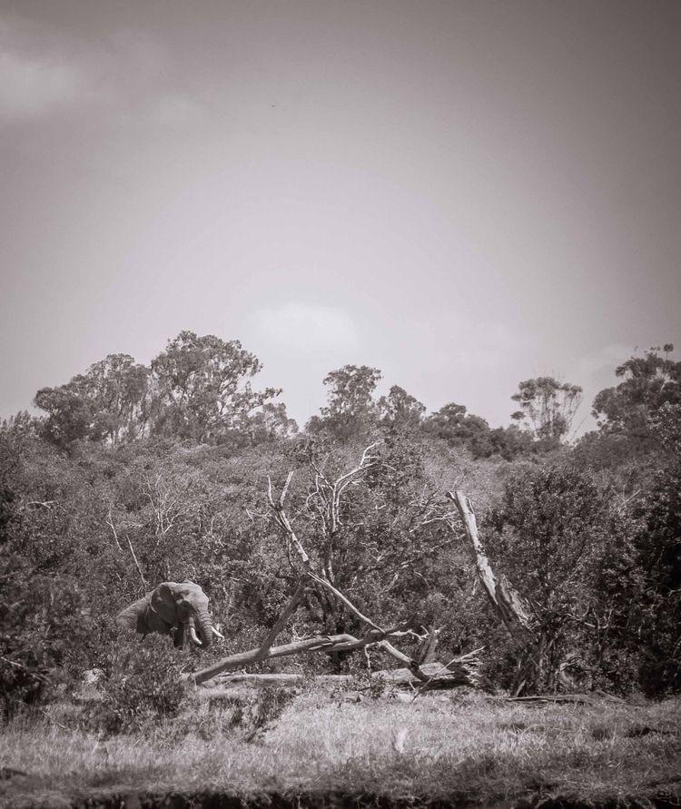 lone wanderer - elephant, tusks - amethyst_whisperer | ello