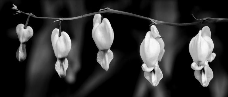 bleeding hearts  - monochrome, blackandwhite - docdenny | ello