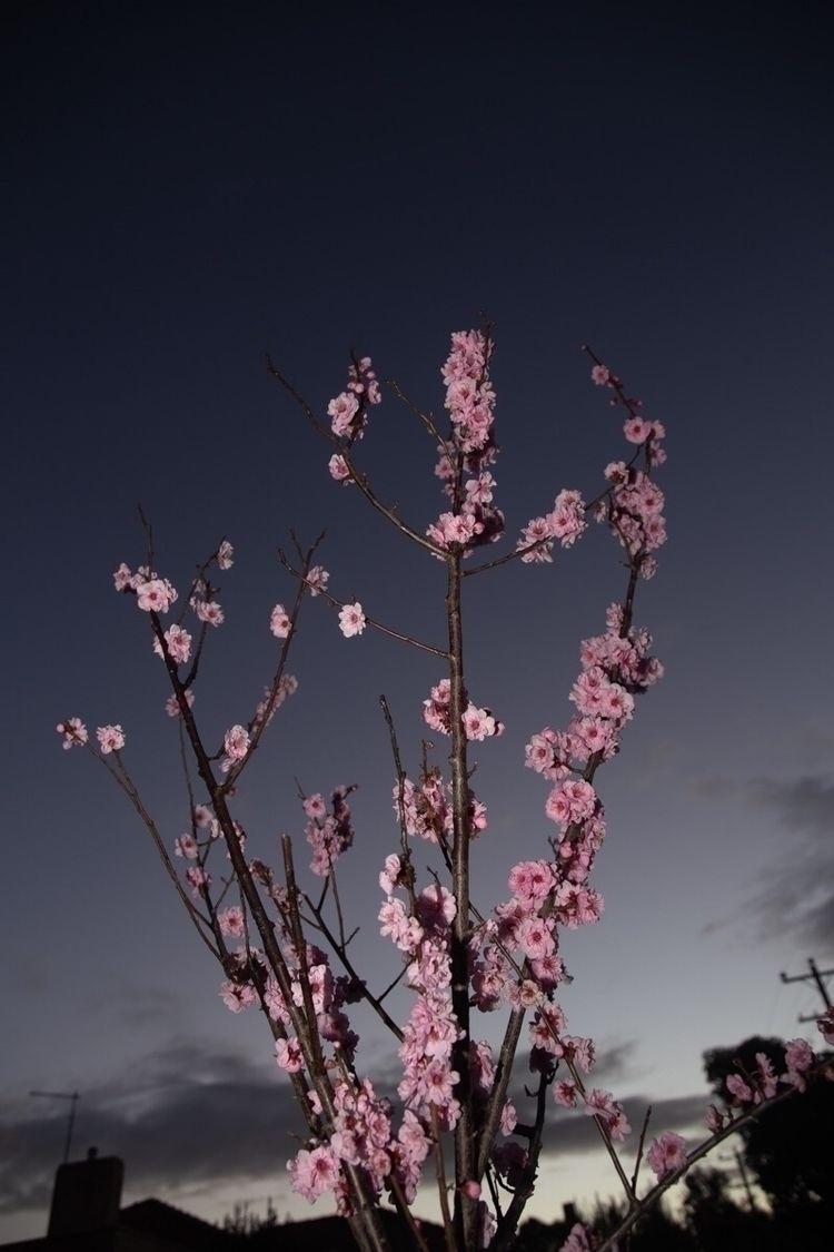 blossom, night, flash, photography - jokalinowski_ | ello