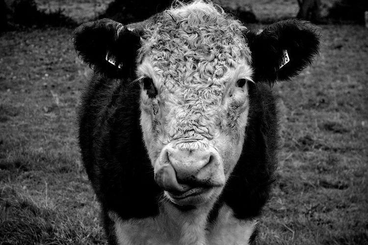 Bullock 4 - animalphotography, portraitphotography - dorian-stretton | ello