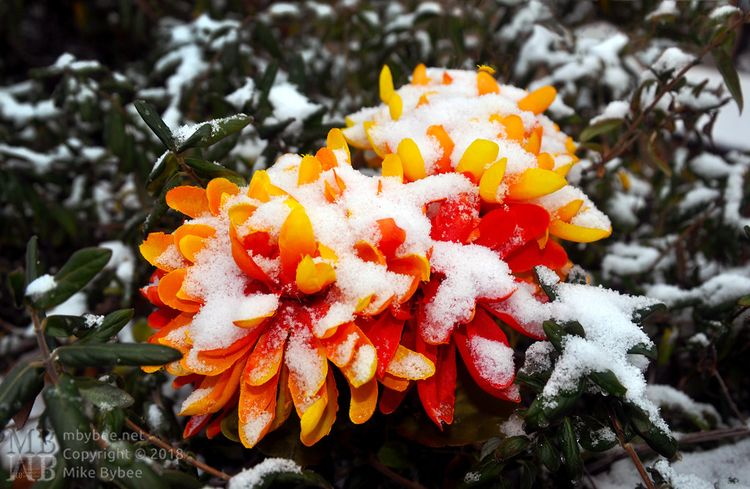 Snowy Flower Happy Year Ello  - mbybee | ello