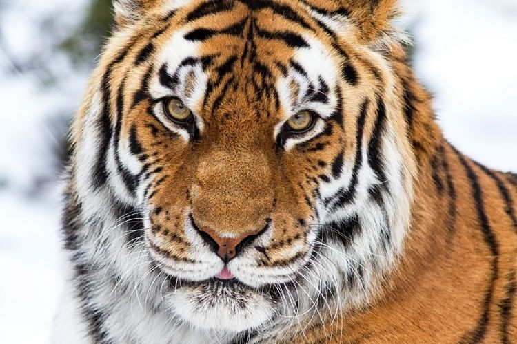 Tigre de Zoo Granby 2012 - zoo, tiger - imeldouze   ello