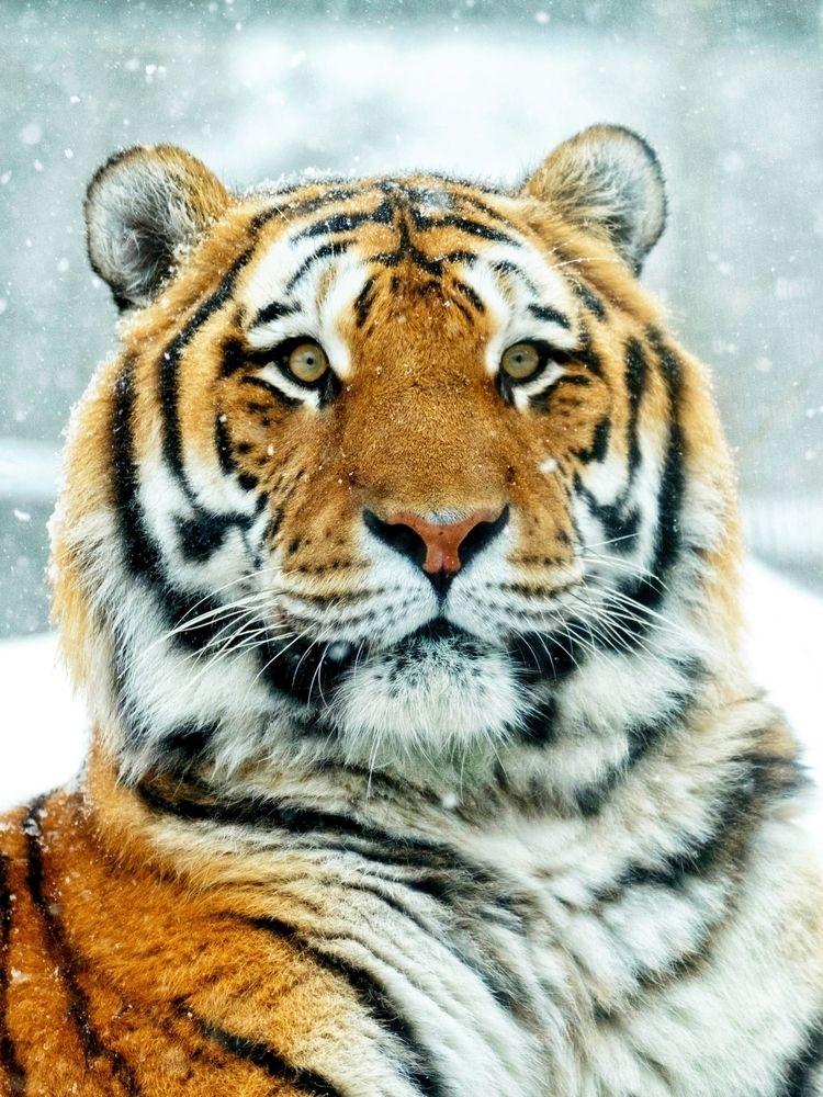 Tigre de Zoo Granby 2018 - zoo, tiger - imeldouze   ello