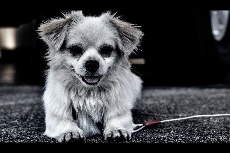 Horror-fied Pekingese - Photography - reyboyy | ello