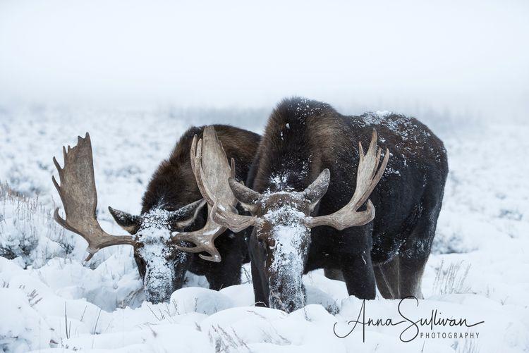   Bull Moose Jackson, WY - annasullivan   ello