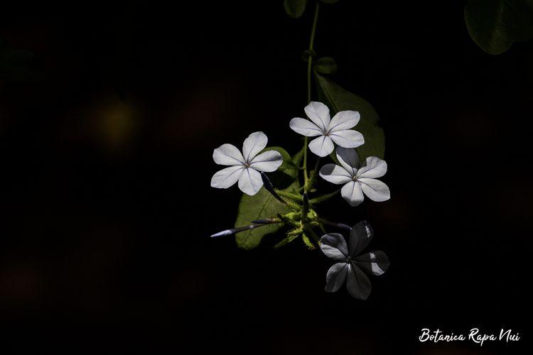 Plumbago auriculata - botanical - botanicarapanui   ello