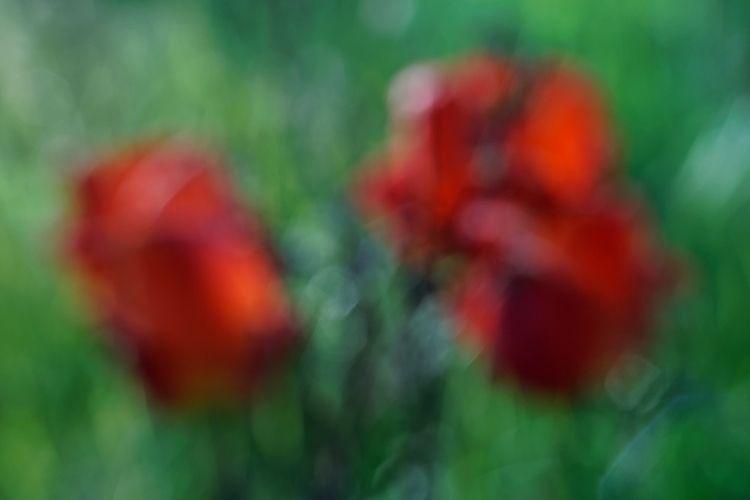 demanding suddenness tulips - photography - marcushammerschmitt | ello