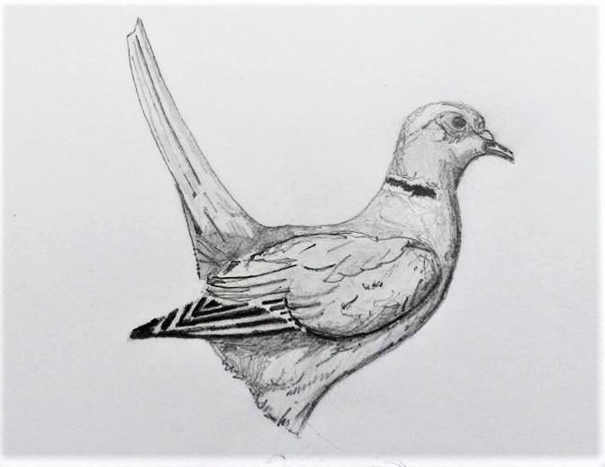 sketch pigeon. Graphite paper - sketched - allthingsinky | ello