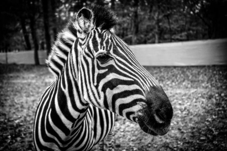 Zebra zebra spotted Cherokee Tr - 75centralphotography | ello