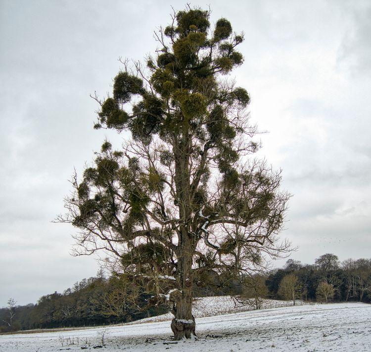 ancient oak Avington, Wincheste - neilhoward | ello