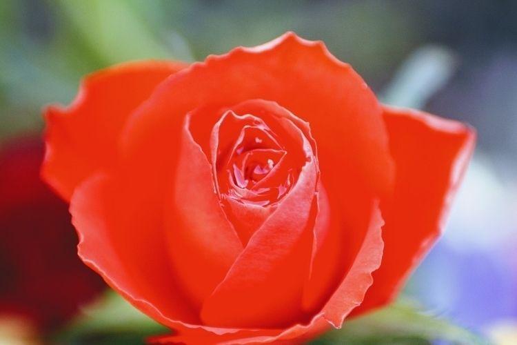 Happy Day - love, romance, macrophotography - tinacollins   ello