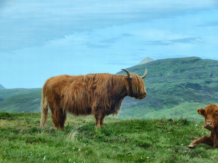Highland Coos Isle Skye - susanoed | ello