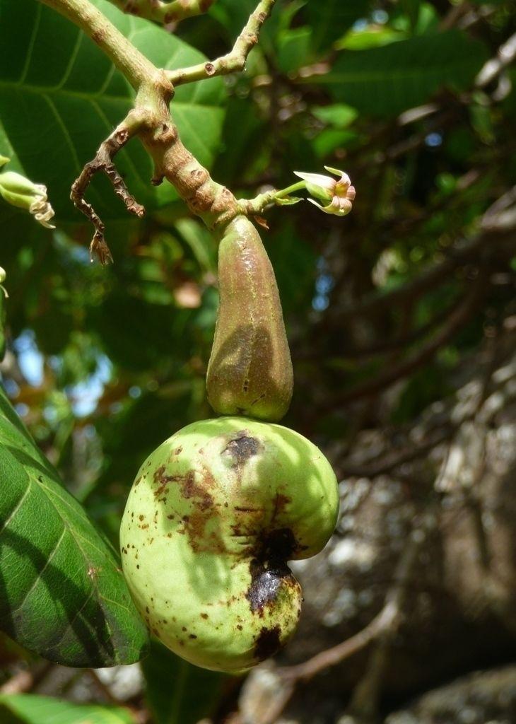 Vallée de Hohoi, Ua Pou Fruit  - bertdo | ello