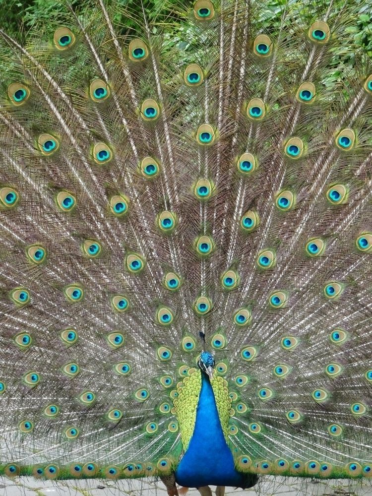 peacock, zoo, riga, colourful - emvdelen | ello