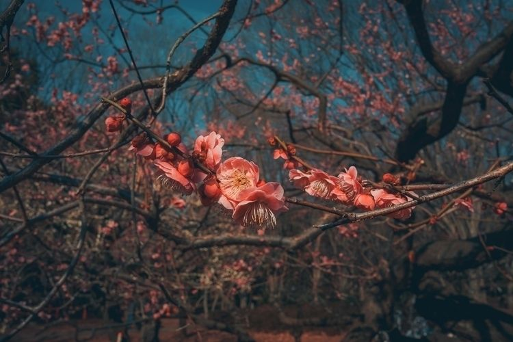Depth flowers, pretty pink Ume  - fokality | ello