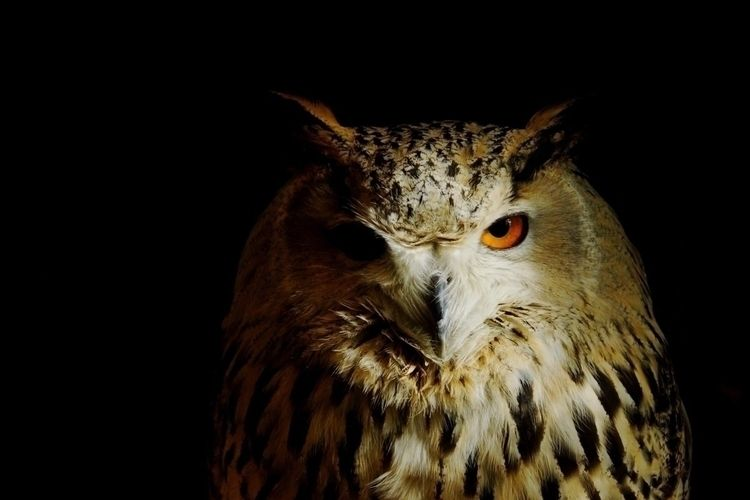 owl, animal, photography - keina | ello