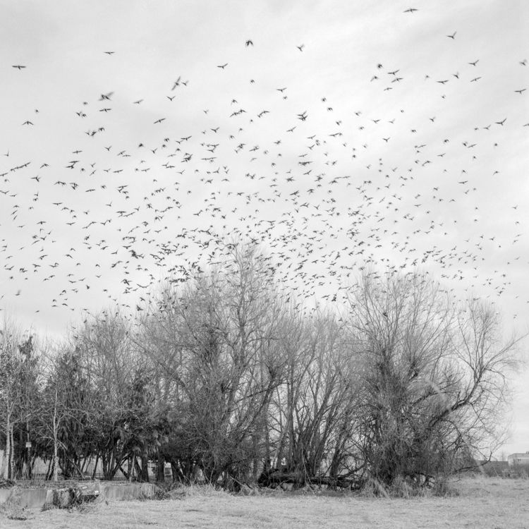 Interurban Crows Auburn, Washin - lasrfoto | ello