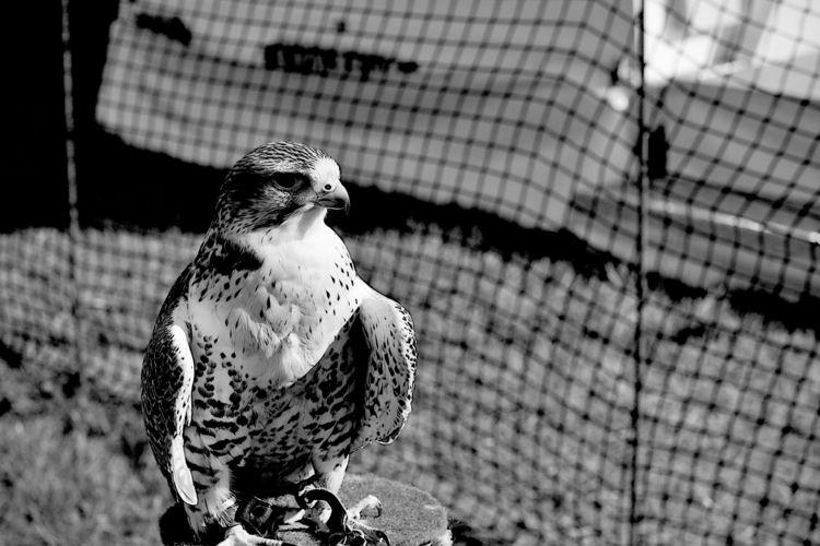 Kelmarsh 9 - birdphotography, wildlifephotography - dorian-stretton | ello