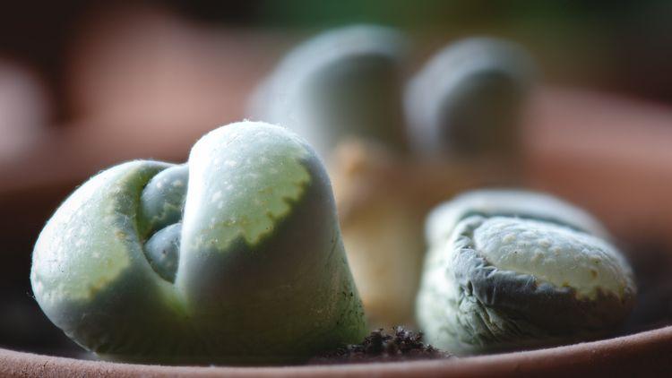 Living Stones 2 pods pushing (L - rhinocerous | ello