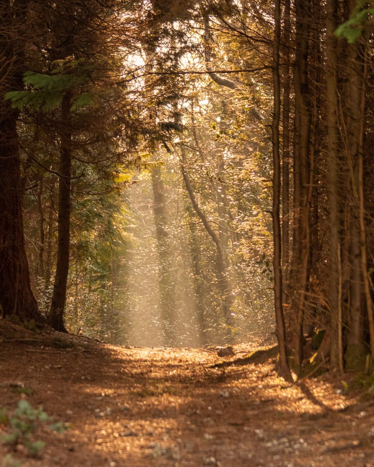 Rays path forest trees - woodland - robhills | ello